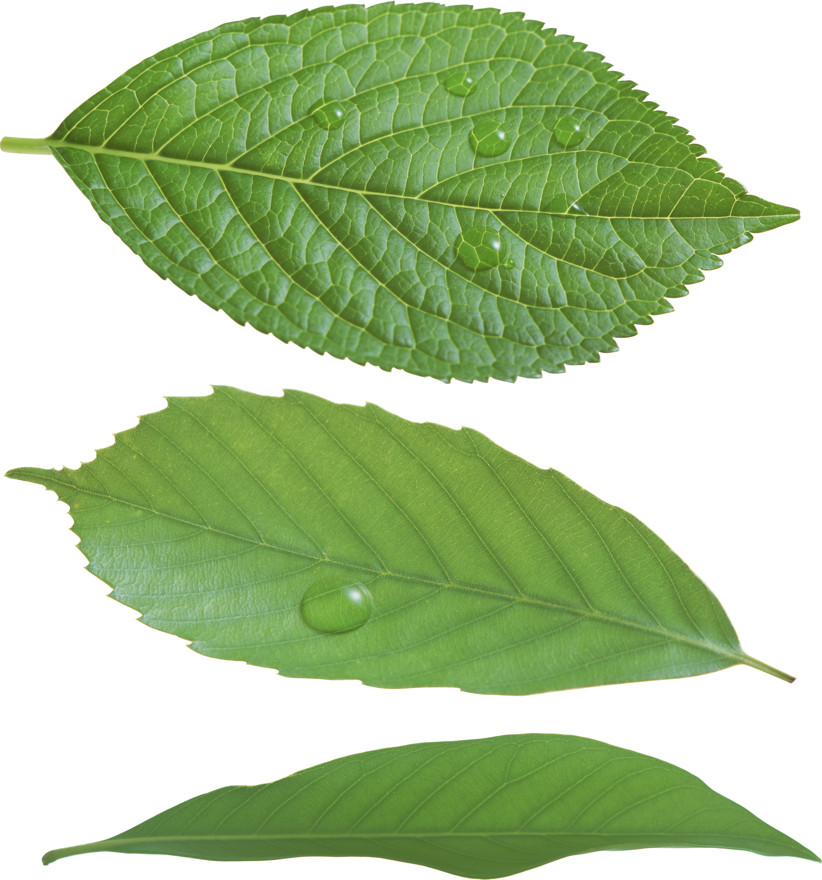 uploads green leaves green leaves PNG3649 3