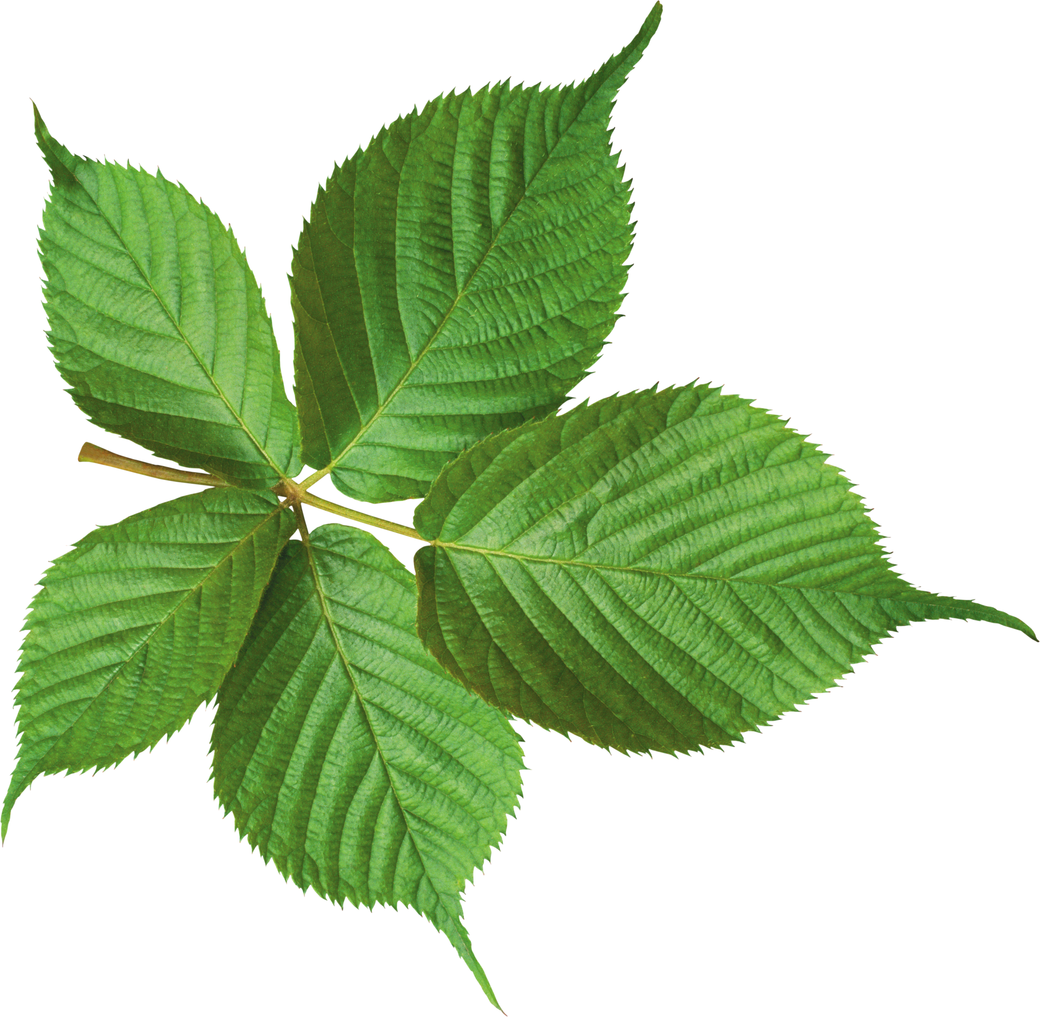 uploads green leaves green leaves PNG3653 4