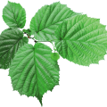 uploads green leaves green leaves PNG3669 12