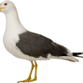 uploads gull gull PNG1 22