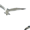 uploads gull gull PNG14 25