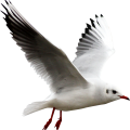 uploads gull gull PNG18 14