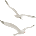 uploads gull gull PNG19 23
