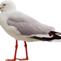 uploads gull gull PNG2 19