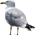 uploads gull gull PNG20 9