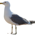 uploads gull gull PNG21 11