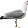 uploads gull gull PNG22 15