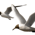 uploads gull gull PNG26 8