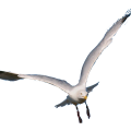 uploads gull gull PNG31 18