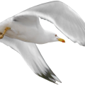 uploads gull gull PNG32 17