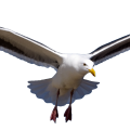 uploads gull gull PNG34 16