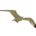 uploads gull gull PNG35 23