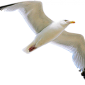 uploads gull gull PNG37 24