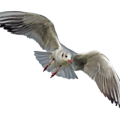 uploads gull gull PNG39 25