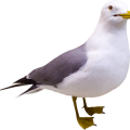 uploads gull gull PNG4 8