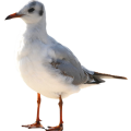uploads gull gull PNG43 12