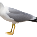 uploads gull gull PNG45 7