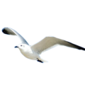 uploads gull gull PNG46 13