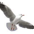 uploads gull gull PNG48 24