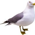 uploads gull gull PNG5 6