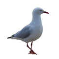 uploads gull gull PNG51 20