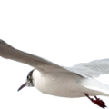uploads gull gull PNG55 9
