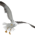 uploads gull gull PNG56 20