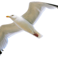 uploads gull gull PNG57 13