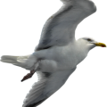 uploads gull gull PNG60 6