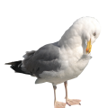 uploads gull gull PNG61 19
