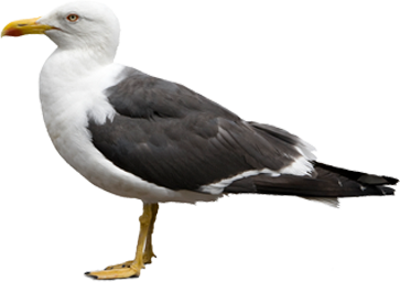 uploads gull gull PNG63 3