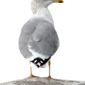 uploads gull gull PNG9 7