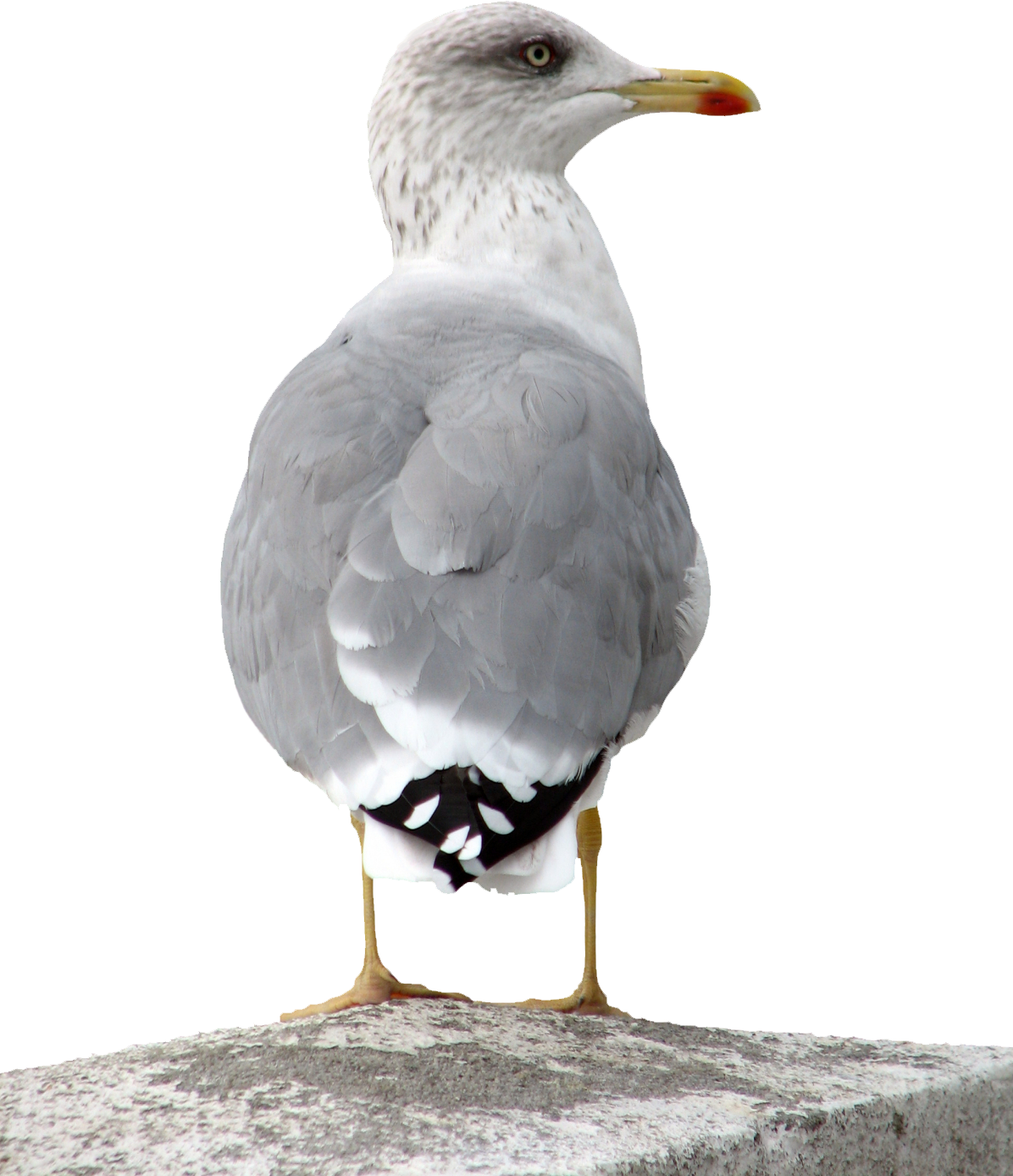 uploads gull gull PNG9 4