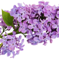 uploads lilac lilac PNG1 13