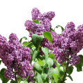 uploads lilac lilac PNG10 9