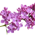 uploads lilac lilac PNG104 20