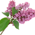uploads lilac lilac PNG13 9