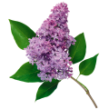 uploads lilac lilac PNG16 10