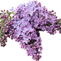 uploads lilac lilac PNG17 13