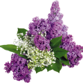uploads lilac lilac PNG18 23