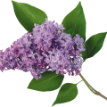 uploads lilac lilac PNG19 7