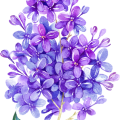 uploads lilac lilac PNG25 17
