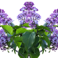 uploads lilac lilac PNG29 25