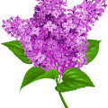 uploads lilac lilac PNG37 9