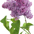 uploads lilac lilac PNG39 10
