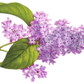 uploads lilac lilac PNG4 19