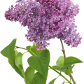 uploads lilac lilac PNG40 12