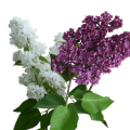 uploads lilac lilac PNG43 22