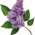 uploads lilac lilac PNG44 18