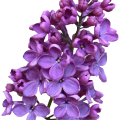 uploads lilac lilac PNG5 12